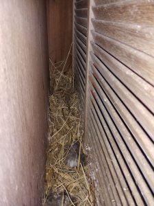 鳥の巣駆除